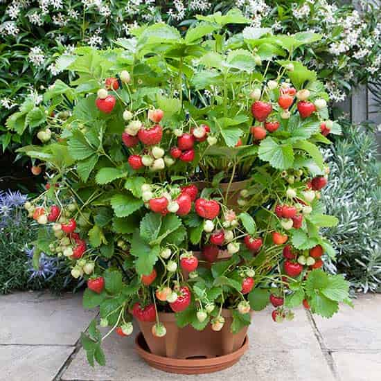 strawberry planter tier