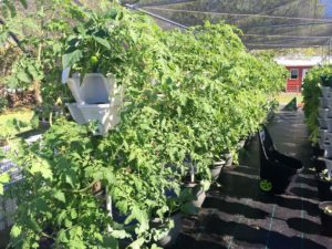 growing tomatoes on towers with mr stacky