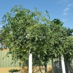 Grow Tomatoes in hanging towers
