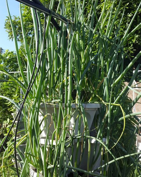 onion growing hydroponically