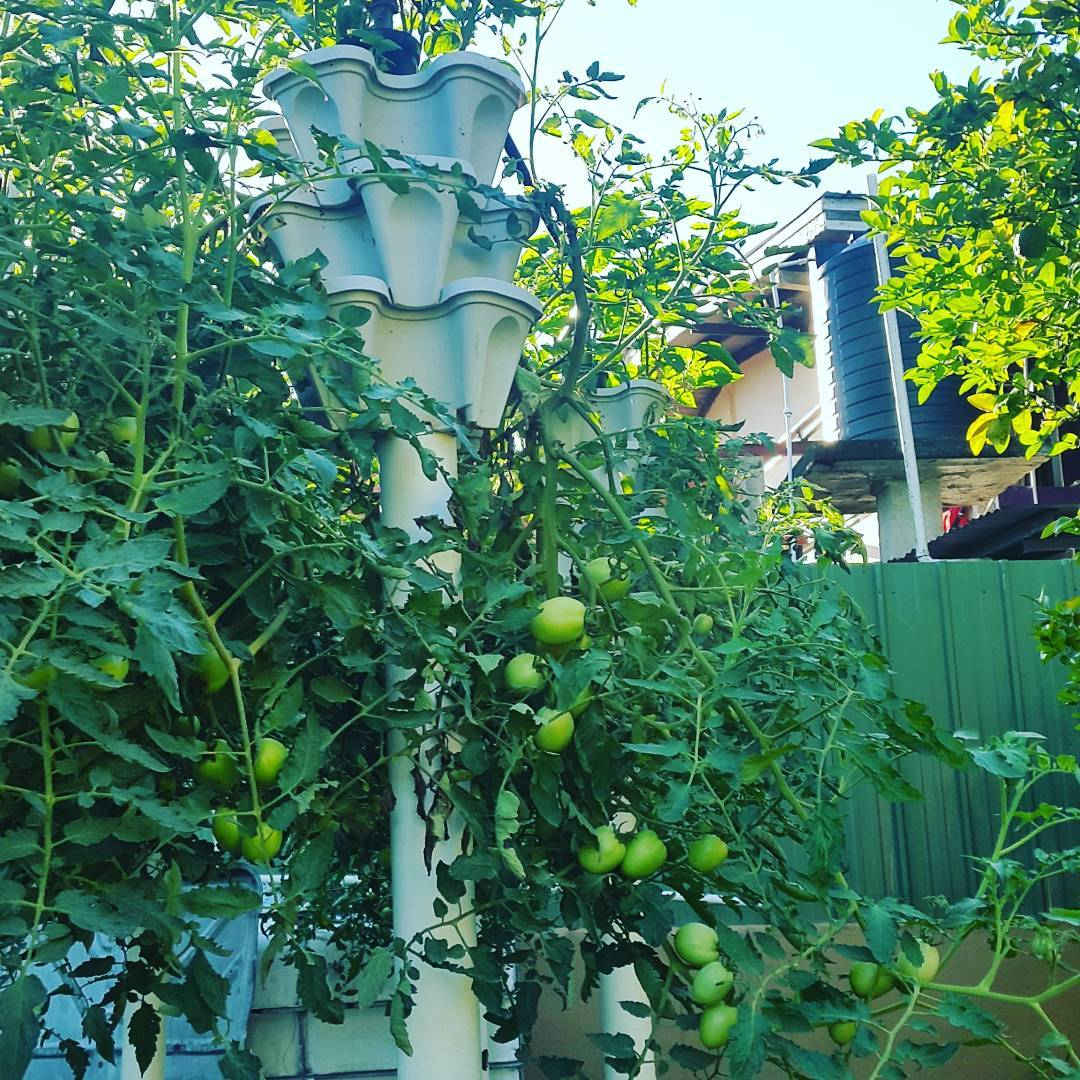 tomatoes growing from stackable planters