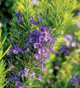 Rosemary with purple flowers