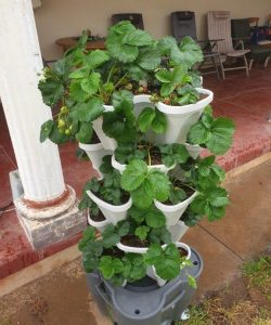 strawberry mr stacky tower hydroponic